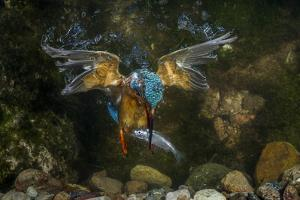Kingfisher Hunting a Fish Underwater by ClickAlps