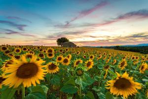Valensole Plateau, Provence, France. Field full of sunflowers at sunset, lonely farmhouse by ClickAlps