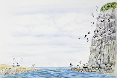 Cliff Environment Birds :Atlantic Puffin--Giclee Print