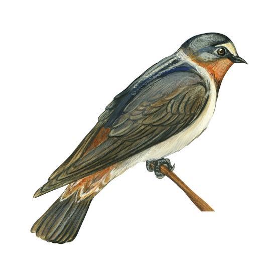 Cliff Swallow (Petrochelidon Pyrrhonota), Birds-Encyclopaedia Britannica-Art Print