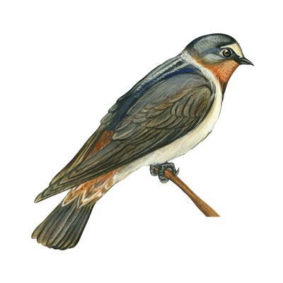 https://imgc.artprintimages.com/img/print/cliff-swallow-petrochelidon-pyrrhonota-birds_u-l-q135i810.jpg?p=0