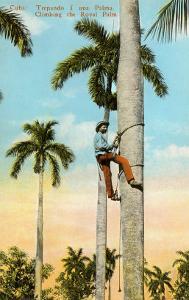 Climbing a Royal Palm, Cuba