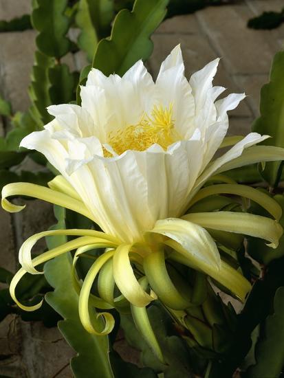 Climbing Cactus Flower--Photographic Print