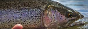 A Large Rainbow Trout Ready to Be Released on the Henry's Fork River in Idaho. by Clint Losee