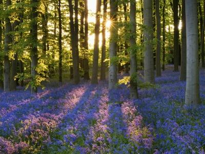 Bluebell Wood at Coton Manor by Clive Nichols