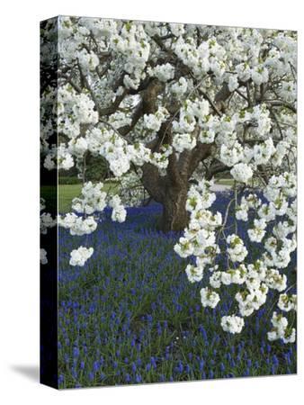 Cherry tree blooming over Muscari armeniacum