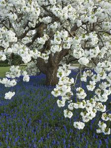 Cherry tree blooming over Muscari armeniacum by Clive Nichols