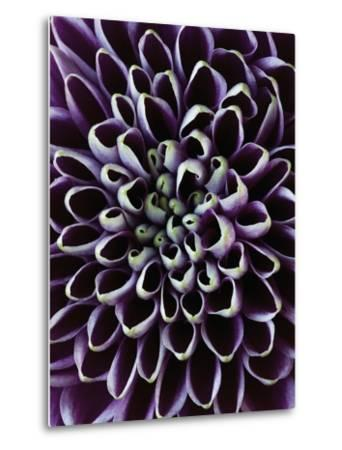 Close-up of Chrysanthemum Flower