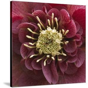 Close-Up of Lenten Rose by Clive Nichols