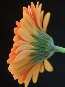 Close-Up of Orange Gerbera Daisy by Clive Nichols
