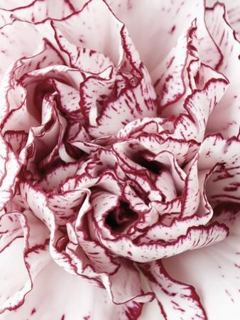 Close-Up of Pink and White Carnation