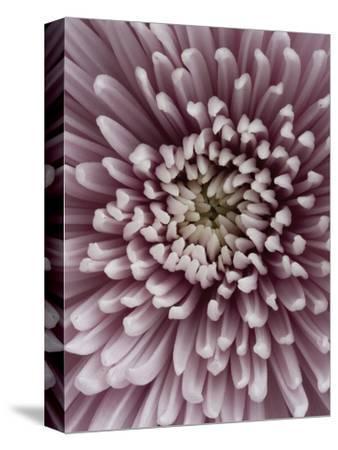Close-Up of Pink Chrysanthemum