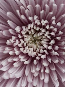 Close-Up of Pink Chrysanthemum by Clive Nichols
