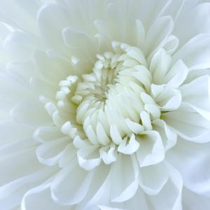 Close-up of White Flower by Clive Nichols