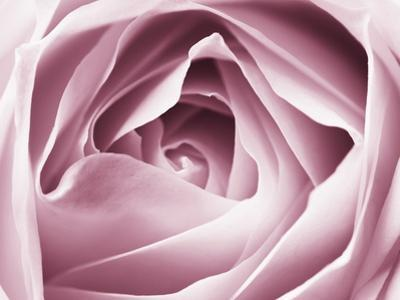 Close-up View of Pink Rose by Clive Nichols