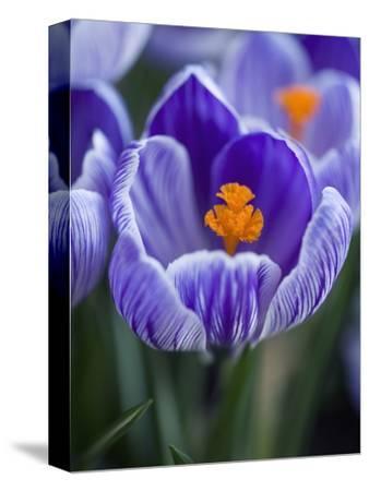 Crocus Pickwick Flower