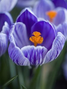 Crocus Pickwick Flower by Clive Nichols