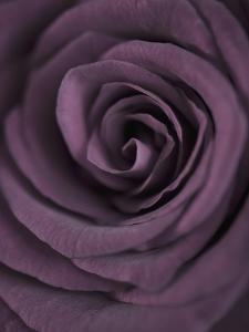 Deep Purple Rose by Clive Nichols