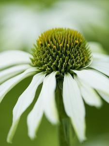 Echinacea flower by Clive Nichols
