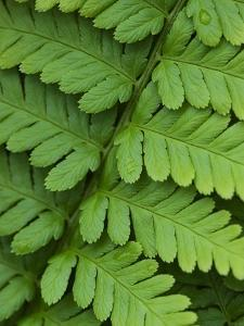 Fern Frond by Clive Nichols