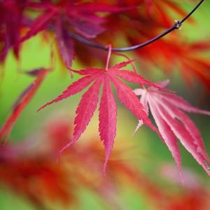 Japanese Maple Leaves by Clive Nichols
