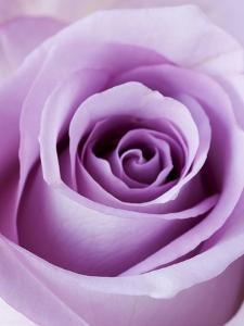 Light Purple Rose by Clive Nichols