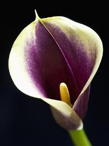 Orange Calla lily by Clive Nichols