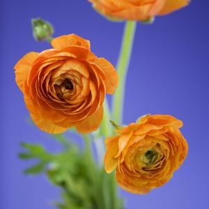 Orange Ranunculus Flowers by Clive Nichols