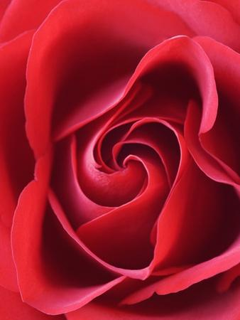 Petals of Red Rose by Clive Nichols