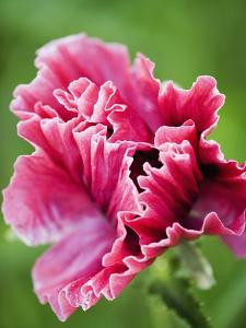 Pink oriental poppy by Clive Nichols