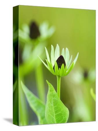 Rudbeckia occidentalis, or green wizard