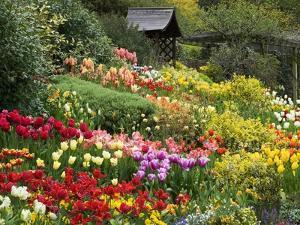 Tulips at Little Larford by Clive Nichols