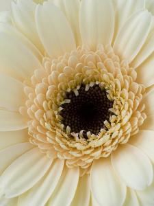 White Gerbera Daisy by Clive Nichols