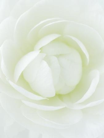 White Petals of Flower by Clive Nichols