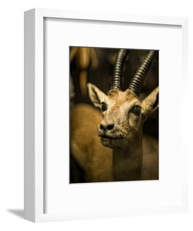 A Taxidermy Thomson's Gazelle
