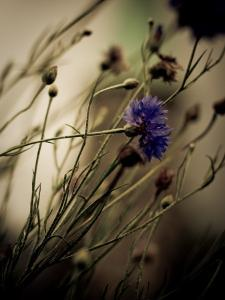Blue Flower with Blurred Background by Clive Nolan