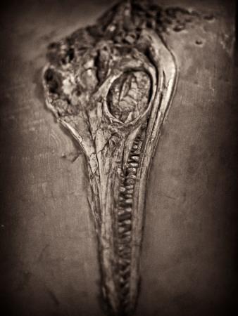 Fossilised Skull of Dinosour. Ichthyosaurus Communis