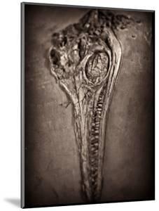 Fossilised Skull of Dinosour. Ichthyosaurus Communis by Clive Nolan