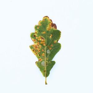 Single Oak Leaf by Clive Nolan