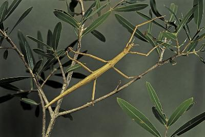 Clonopsis Gallica (French Stick Insect)-Paul Starosta-Photographic Print