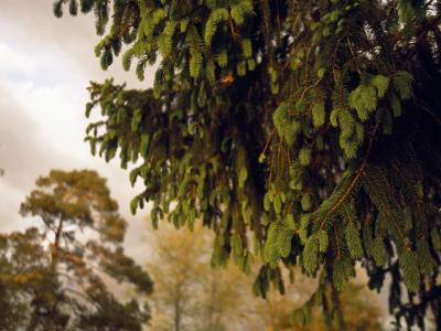 Close Detail of a Norway Spruce Tree Branches-Raymond Gehman-Photographic Print