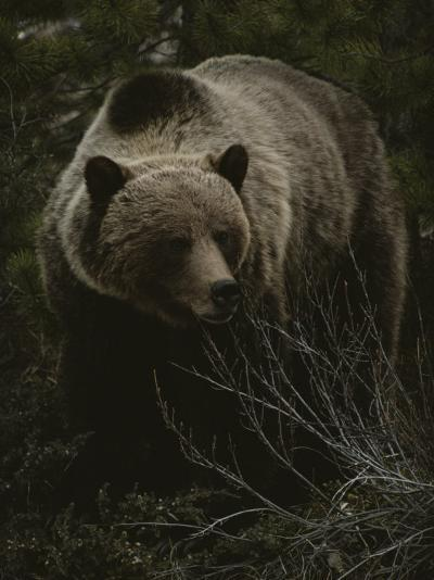 Close Frontal View of a Huge Grizzly (Ursus Arctos Horribilis) in a Pine Wood-Michael S^ Quinton-Photographic Print