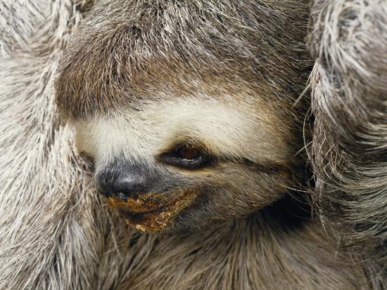 Close Portrait of a Three Toed Sloth-Darlyne A^ Murawski-Photographic Print