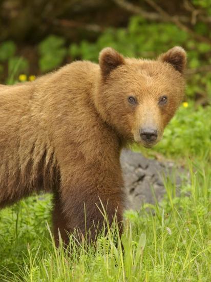 Close Portrait of Brown Bear Along Grassy Shore, Alaska-Ralph Lee Hopkins-Photographic Print
