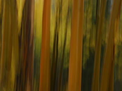 Close Up and Soft Focus of Aspen Trees in the Fall-Raul Touzon-Photographic Print