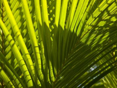 Close Up Detail of a Coconut Palm Frond-Beverly Joubert-Photographic Print