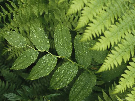 Close Up Detail of a Fern Frond and Vining Plant-Melissa Farlow-Premium Photographic Print