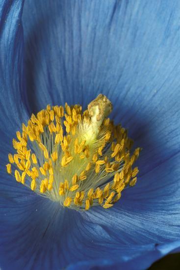 Close Up Detail of Blue Poppy-Design Pics Inc-Photographic Print