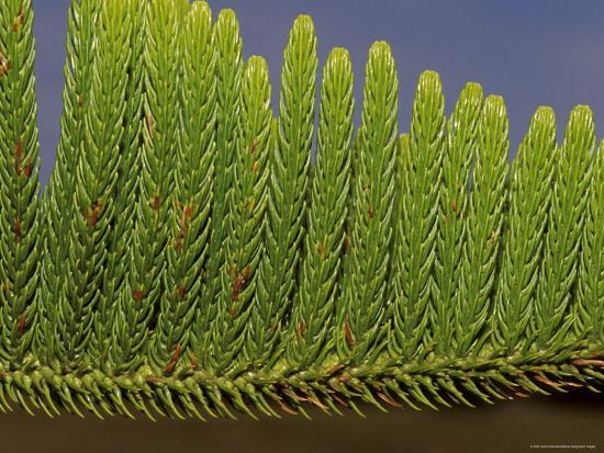 Close-Up Detail of the Bright Green Needles of a Pine Tree Leaf, Australia-Jason Edwards-Photographic Print