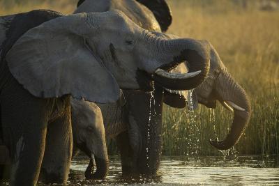Close Up Elephant Herd Drinking in Spillway in Northern Botswana-Beverly Joubert-Photographic Print